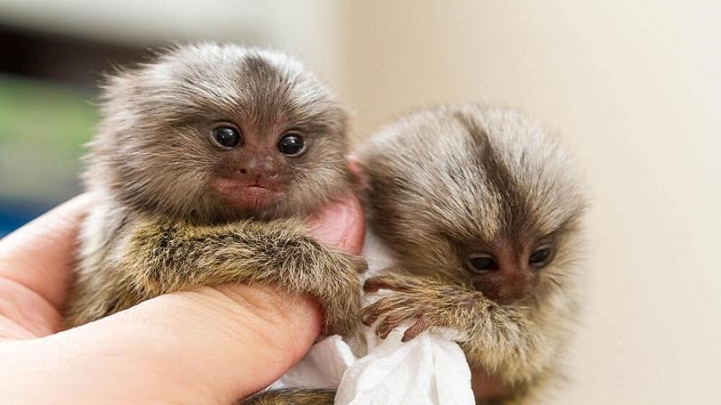 What are Finger Monkeys?